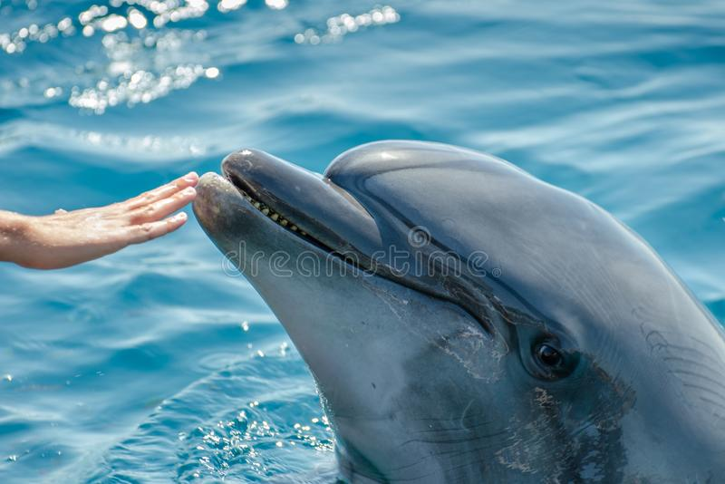 The child girl touch dolphin nose at the Dolphin Reef in Eilat. On the shores of the Red Sea royalty free stock photo