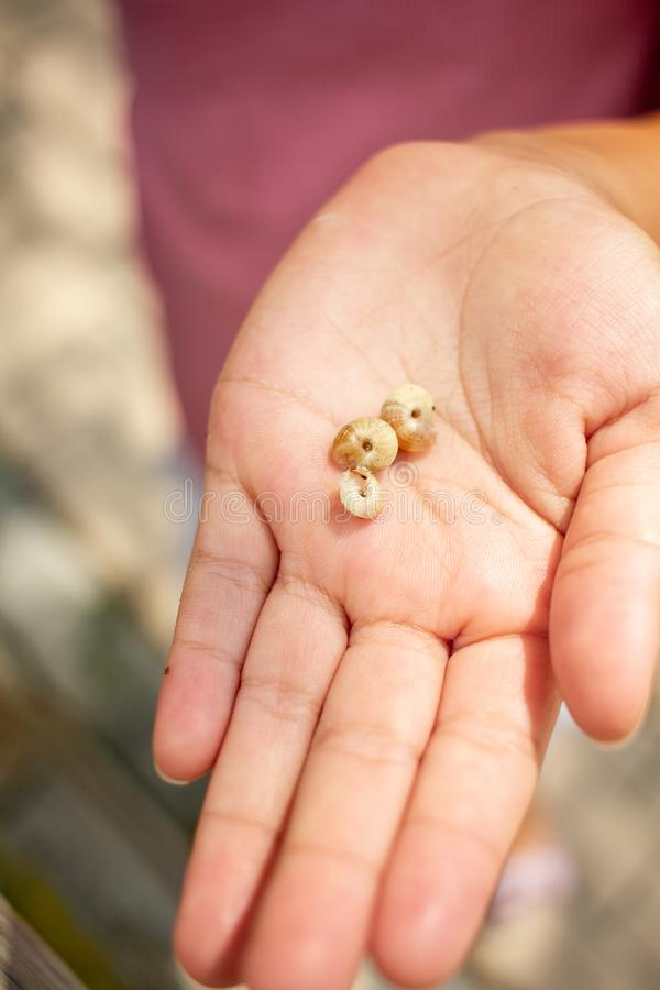 Child hand holding three snails. Close up of a child hand holding three little snails on a sunny day in the garden stock photo