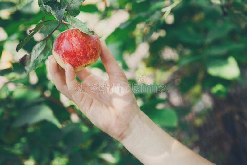 Child hand pick red ripe apple on tree in garden. Child`s hand pick red ripe apple on a tree branch. Autumn garden in village. Growing seasonal fruits, gather stock image