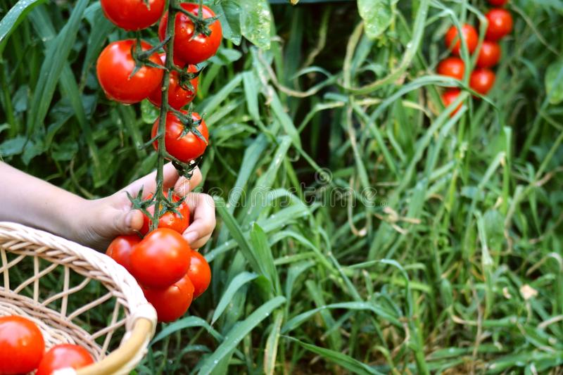 Child hand tearing off tomato and folds it into wicker basket. Ripe red tomatoes growing in the garden stock images