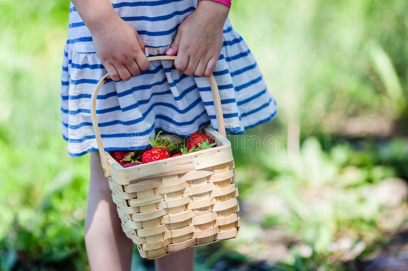 Child hands holding basket full of strawberries at pick your own farm. royalty free stock photography