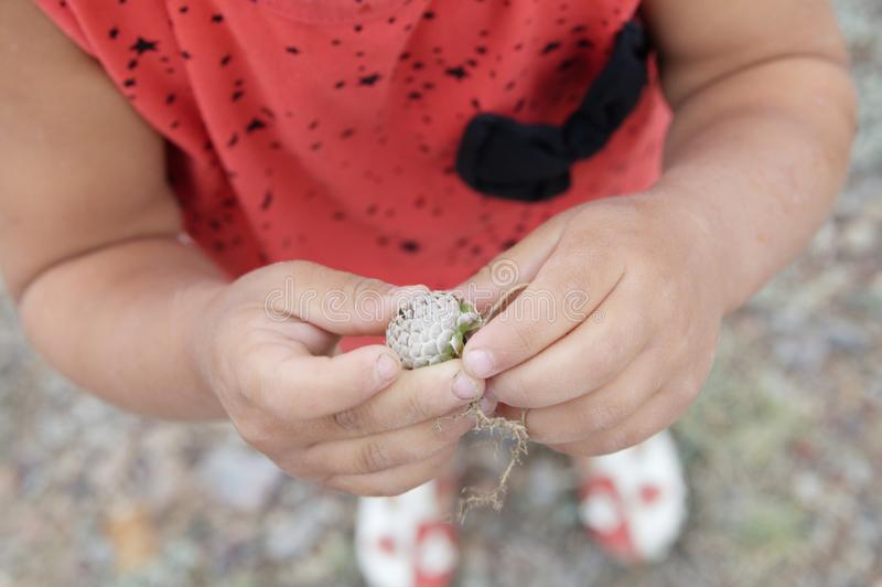 Child hands holding plant flower bud of steppe. young naturalist in nature exploring flora stock photography