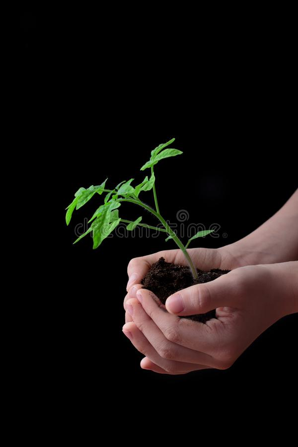 Child hands holding soil heap with tomato seedling. stock images
