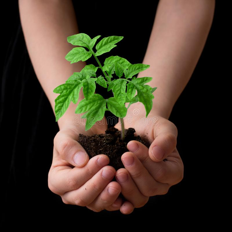 Child hands holding soil heap with tomato seedling. Gardening and environmental protection stock photography