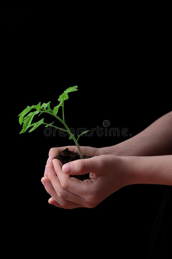 Child hands holding soil heap with tomato seedling. Gardening concept royalty free stock photo