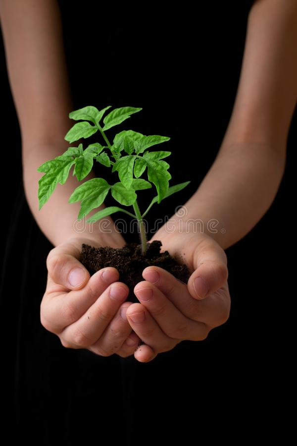 Child hands holding soil heap with tomato seedling. royalty free stock images