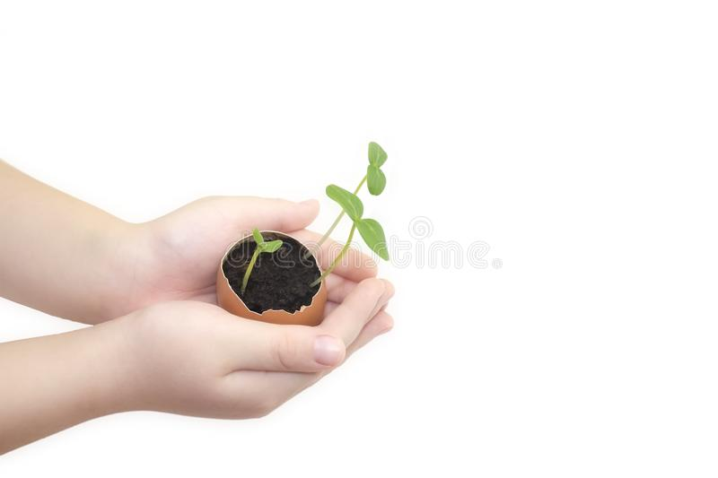 Child hands holding a sprout in egg with soil isolated on white background. Growing sprout is a beginning of new life. Small child. Ren hands holds a blossoming royalty free stock photos