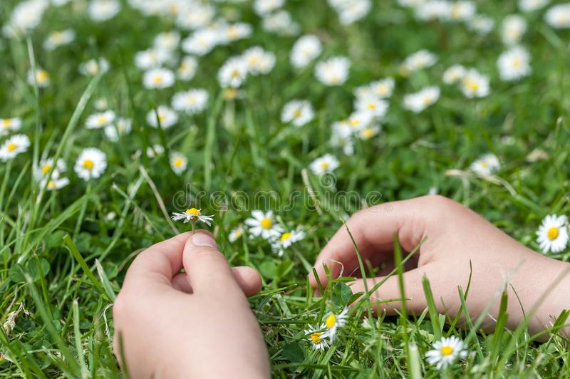 Child hands plaing with white daisy flowers on a clover field. C royalty free stock image