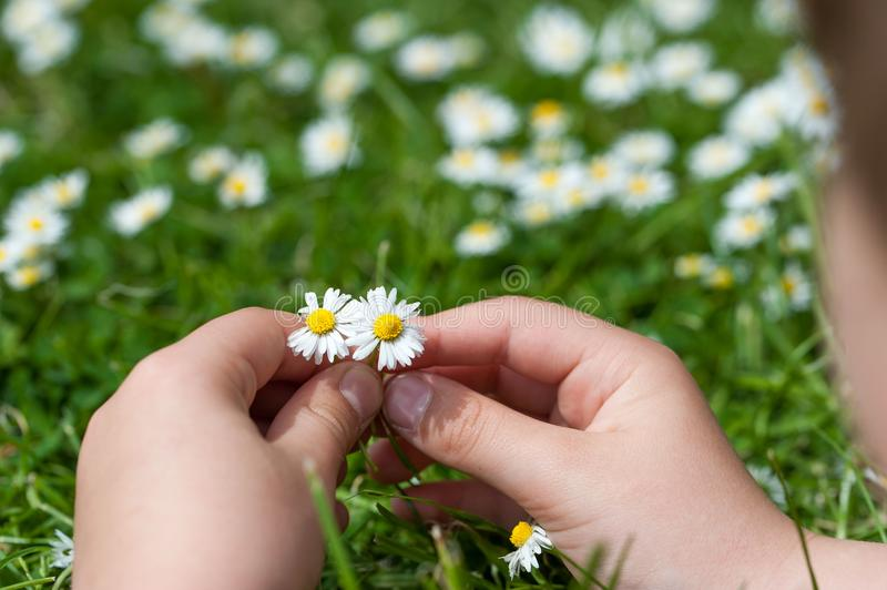 Child hands plaing with white daisy flowers on a clover field. C royalty free stock photo
