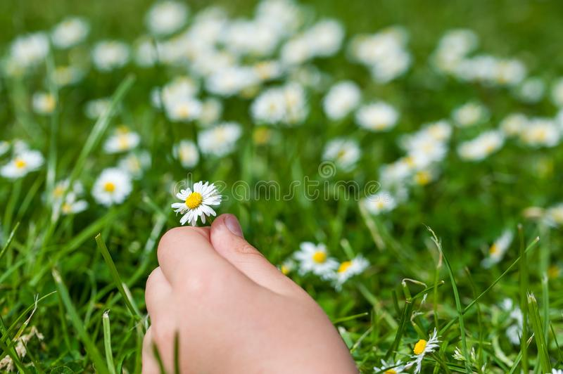 Child hands plaing with white daisy flowers on a clover field. C royalty free stock images