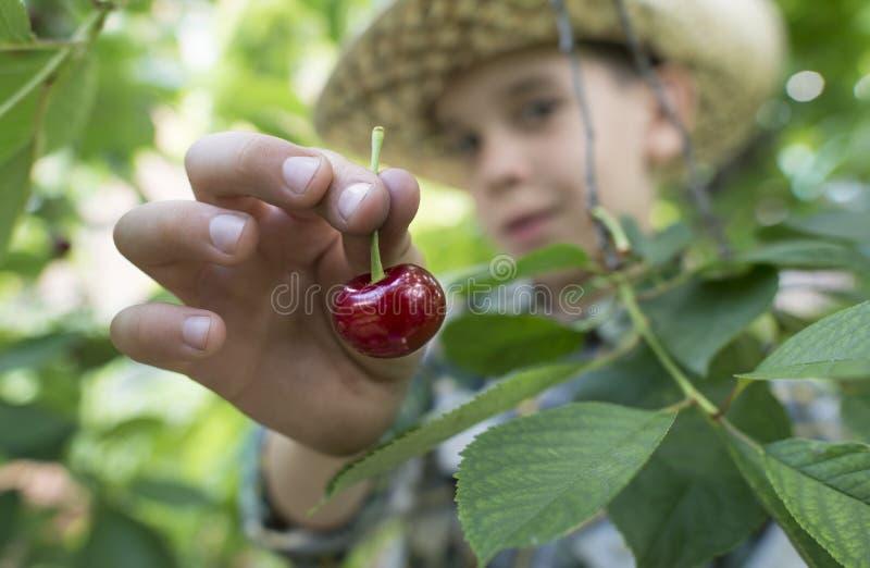 Child harvesting Morello Cherries. On a tree royalty free stock photo