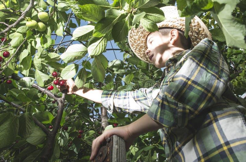 Child harvesting Morello Cherries. On a tree royalty free stock image