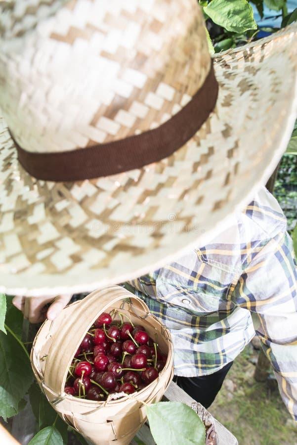 Child harvesting Morello Cherries. On a tree stock image