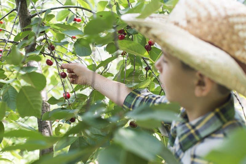 Child harvesting Morello Cherries. On a tree royalty free stock photos