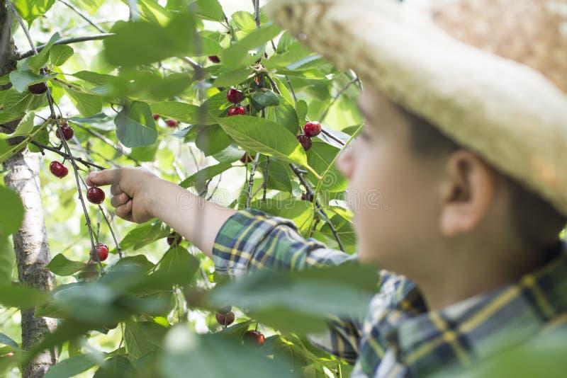 Child harvesting Morello Cherries. On a tree stock photos