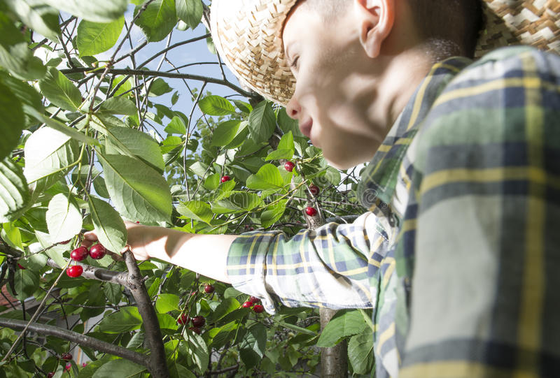 Child harvesting Morello Cherries. On a tree royalty free stock photography