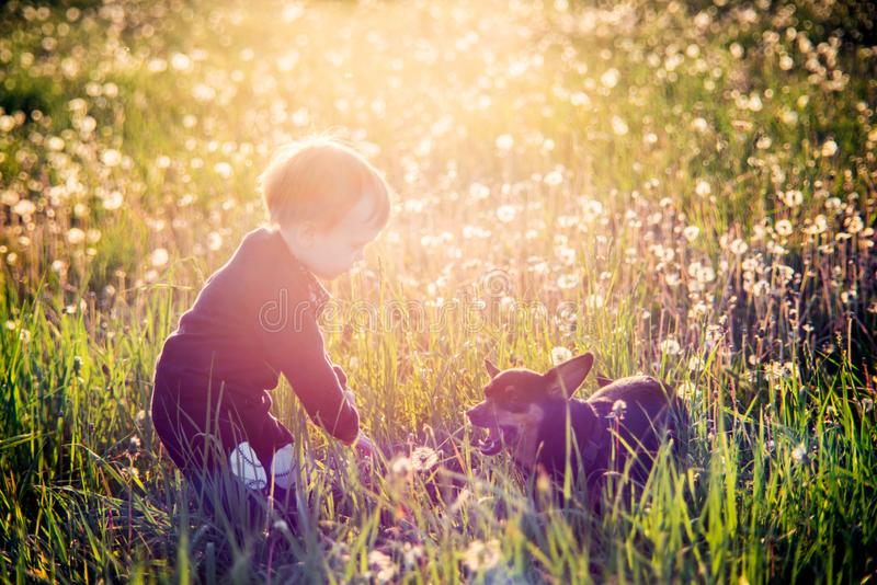 Child and his dog in white dandelion meadow. True friendship and love animal, sunny afternoon royalty free stock photo