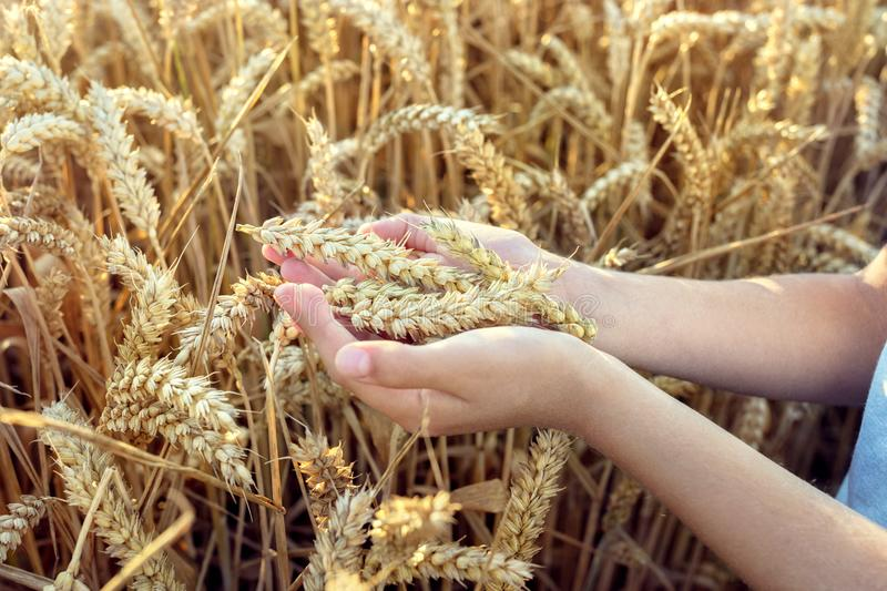 Child holding crop in wheat field stock image
