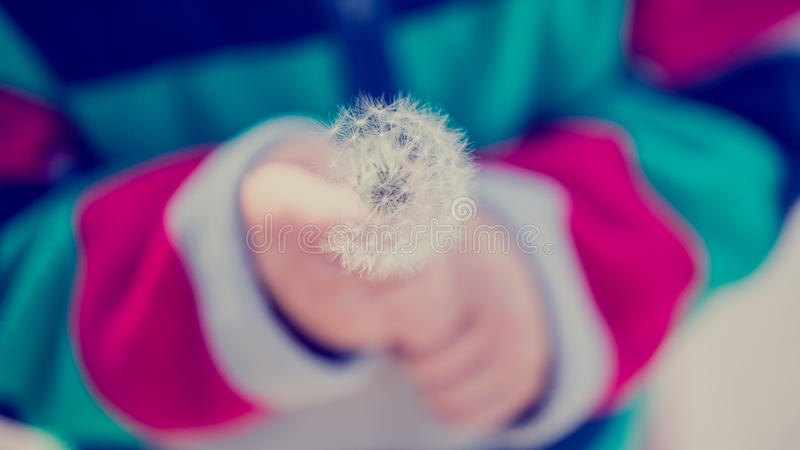 Child holding dandelion clock. Close up of a young child holding a fragile dandelion clock with feathery seeds, toned retro effect stock images