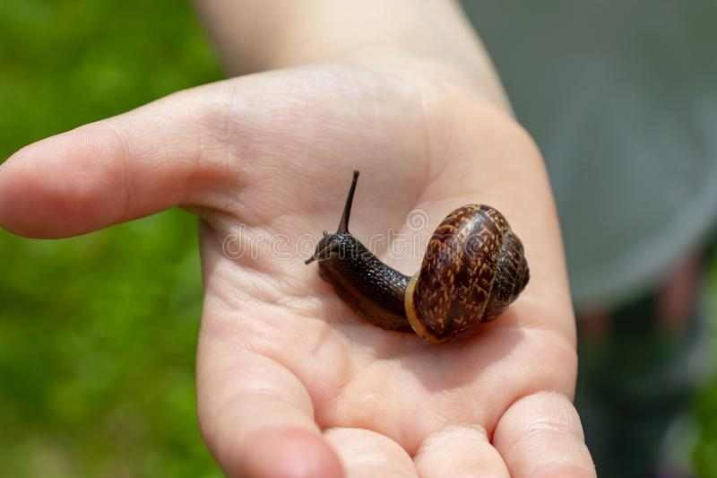 A child holding an edible snail Fructicicola fruticum close up in hand, sunny day in summer time royalty free stock photography