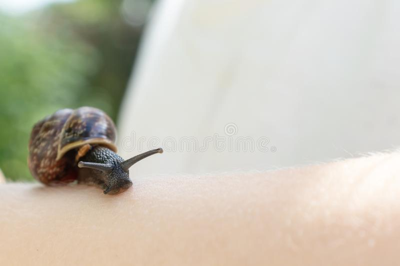A child holding an edible snail Fructicicola fruticum close up in hand, sunny day in summer time stock image