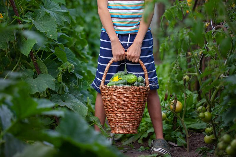 Child holding in hands basket with fresh homemade cucumbers in the garden. Concept healthy eating vegetables stock photo