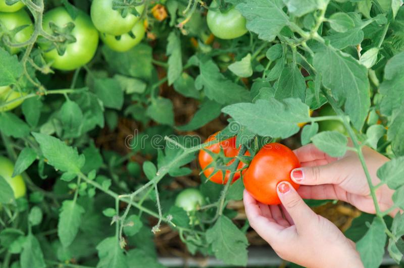 The child is holding a red tomato in the greenhouse when harvest. royalty free stock photo