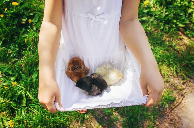 The child holds a chicken in his hands. royalty free stock photo