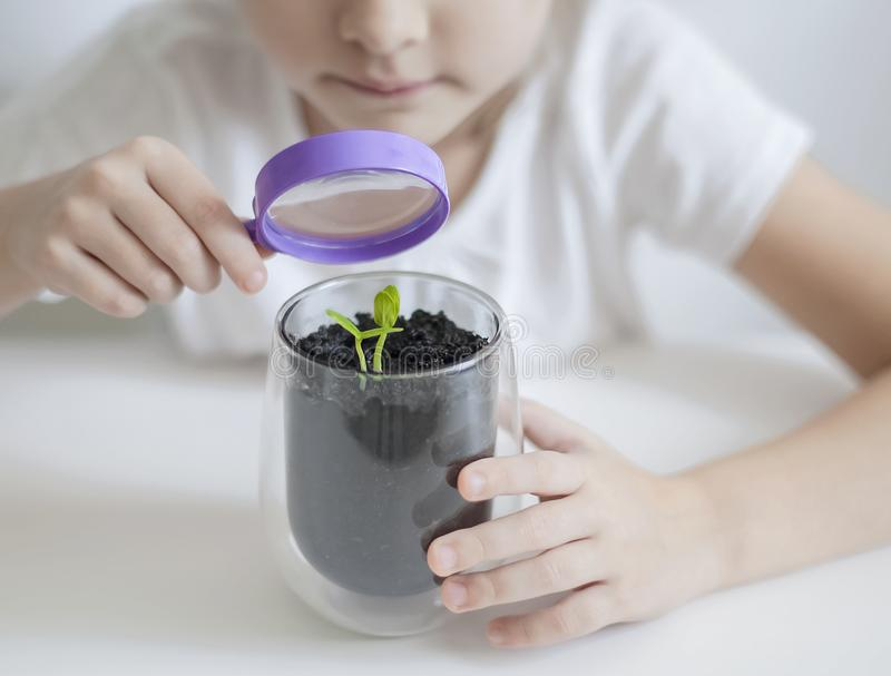 Child is looking at small green sprout through magnifier. Hands of kid are using the magnifying glass. Examining plant leaf royalty free stock photo
