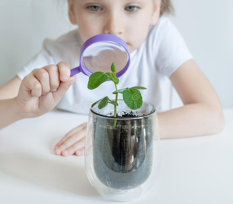 Child is looking at small green sprout through magnifier. Hands of kid are using the magnifying glass. Examining plant leaf stock photography
