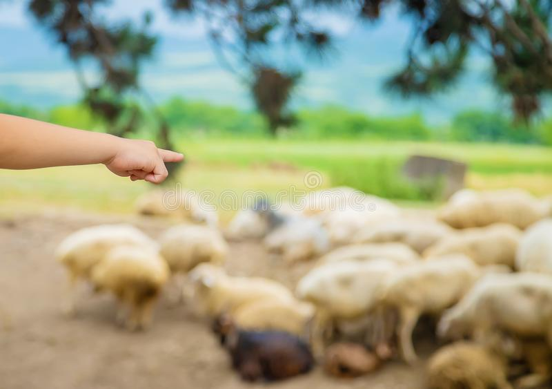A child looks at a flock of sheep. Travel in Georgia. Selective focus stock photo