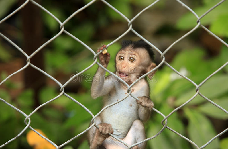 Child of monkeys royalty free stock photos
