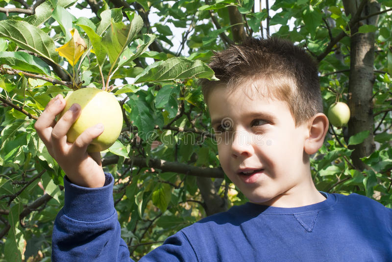 Child pick off apple. Child pick off green apple on a tree stock photography