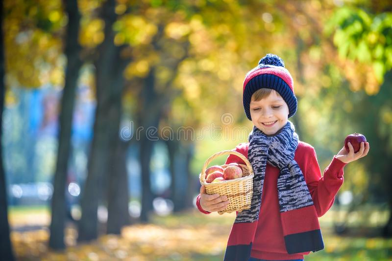 Child picking apples in autumn. Little baby boy playing in apple tree orchard. Kids pick fruit in a basket. Toddler eating fruits royalty free stock photography