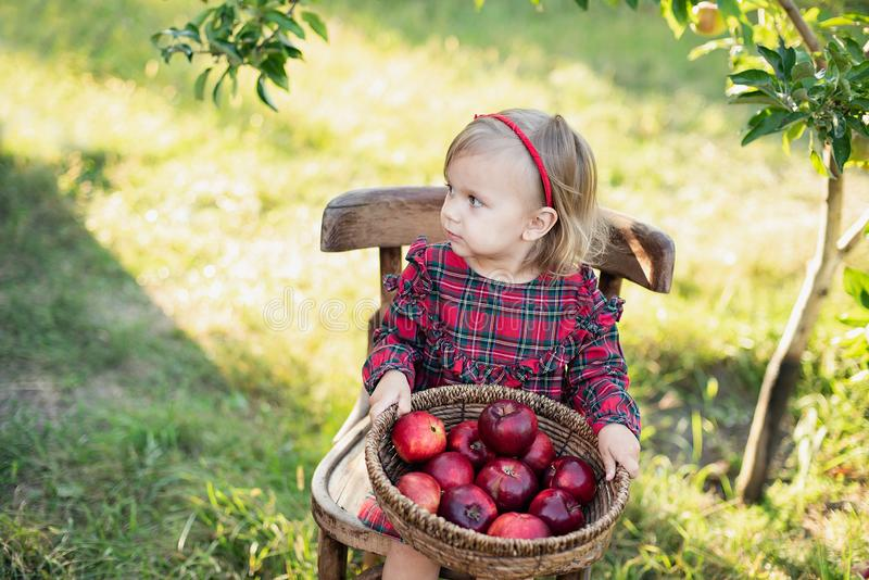 Child picking apples on farm in autumn. Little girl playing in apple tree orchard. Healthy nutrition stock image