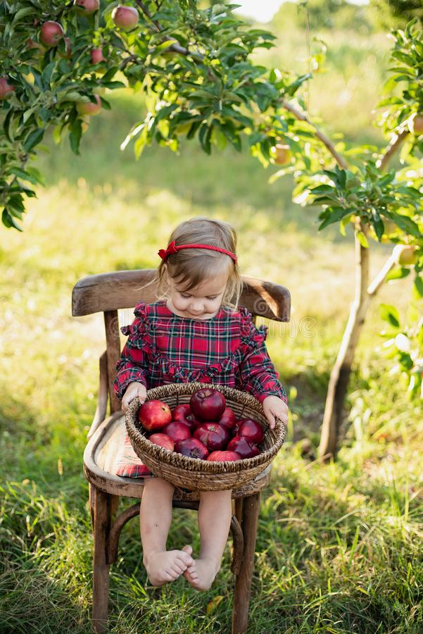 Child picking apples on farm in autumn. Little girl playing in apple tree orchard. Healthy nutrition royalty free stock images