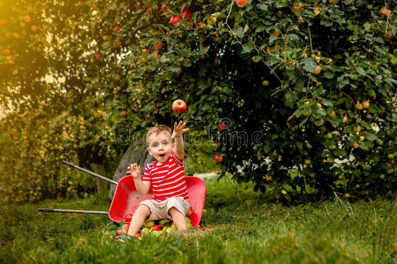 Child picking apples on a farm. Little boy playing in apple tree orchard. Kid pick fruit and put them in a wheelbarrow. Baby. Eating healthy fruits at fall royalty free stock image