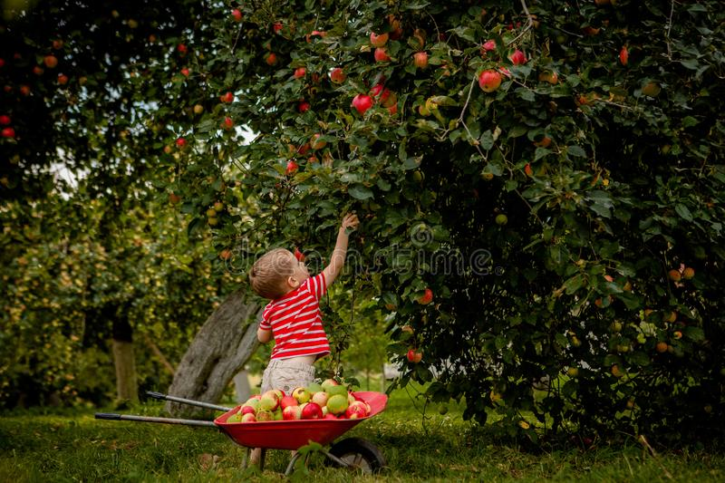 Child picking apples on a farm. Little boy playing in apple tree orchard. Kid pick fruit and put them in a wheelbarrow. Baby eatin. G healthy fruits at fall stock photos