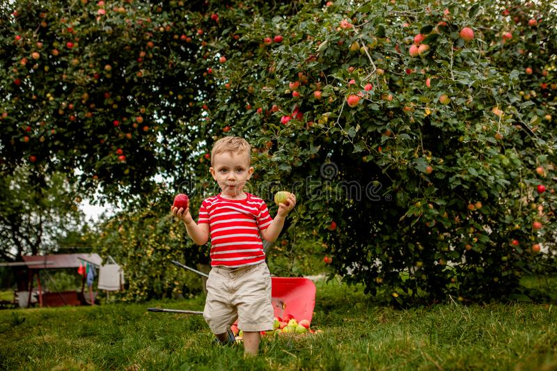 Child picking apples on a farm. Little boy playing in apple tree orchard. Kid pick fruit and put them in a wheelbarrow. Baby eatin stock photography