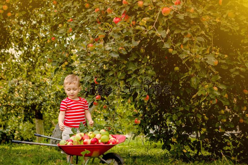 Child picking apples on a farm. Little boy playing in apple tree orchard. Kid pick fruit and put them in a wheelbarrow. Baby. Eating healthy fruits at fall stock photo