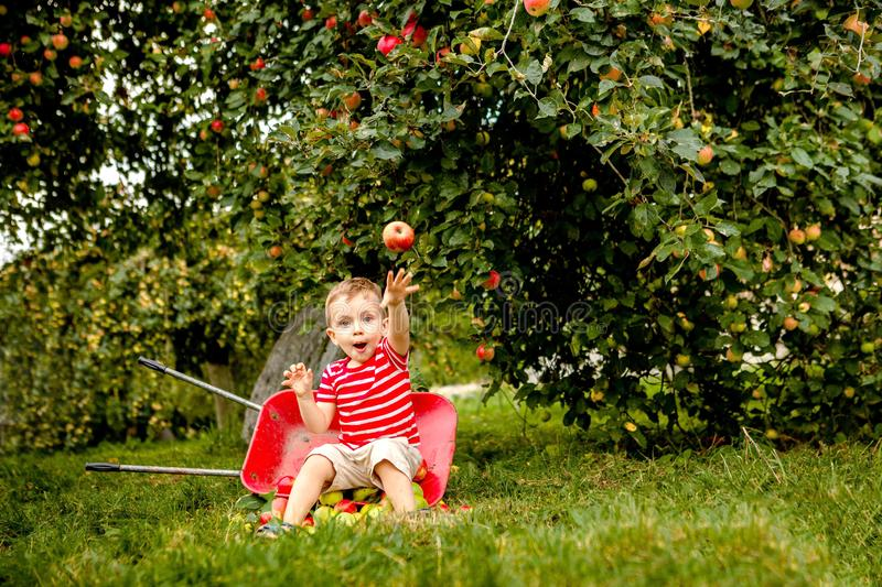 Child picking apples on a farm. Little boy playing in apple tree orchard. Kid pick fruit and put them in a wheelbarrow. Baby. Eating healthy fruits at fall stock image