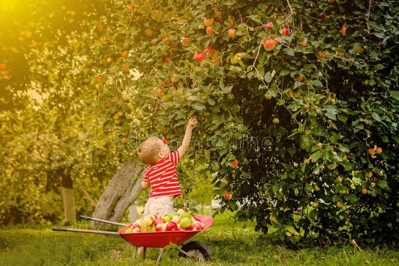 Child picking apples on a farm. Little boy playing in apple tree orchard. Kid pick fruit and put them in a wheelbarrow. Baby. Eating healthy fruits at fall royalty free stock images