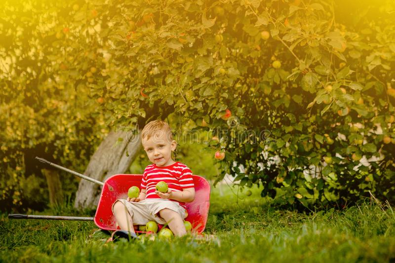 Child picking apples on a farm. Little boy playing in apple tree orchard. Kid pick fruit and put them in a wheelbarrow. Baby. Eating healthy fruits at fall stock images