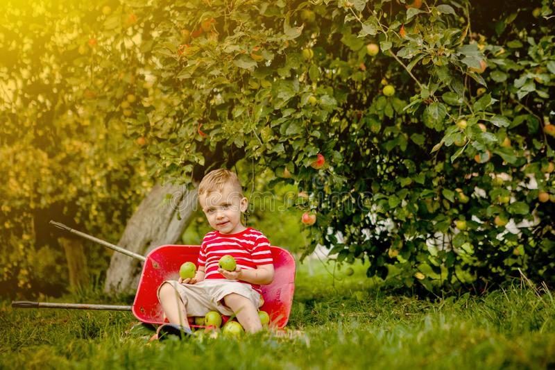 Child picking apples on a farm. Little boy playing in apple tree orchard. Kid pick fruit and put them in a wheelbarrow. Baby. Eating healthy fruits at fall royalty free stock photo