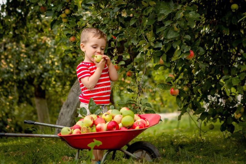 Child picking apples on a farm. Little boy playing in apple tree orchard. Kid pick fruit and put them in a wheelbarrow. Baby. Eating healthy fruits at fall stock photography