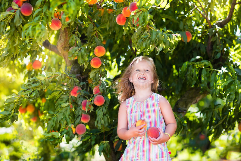Child picking and eating peach from fruit tree stock images
