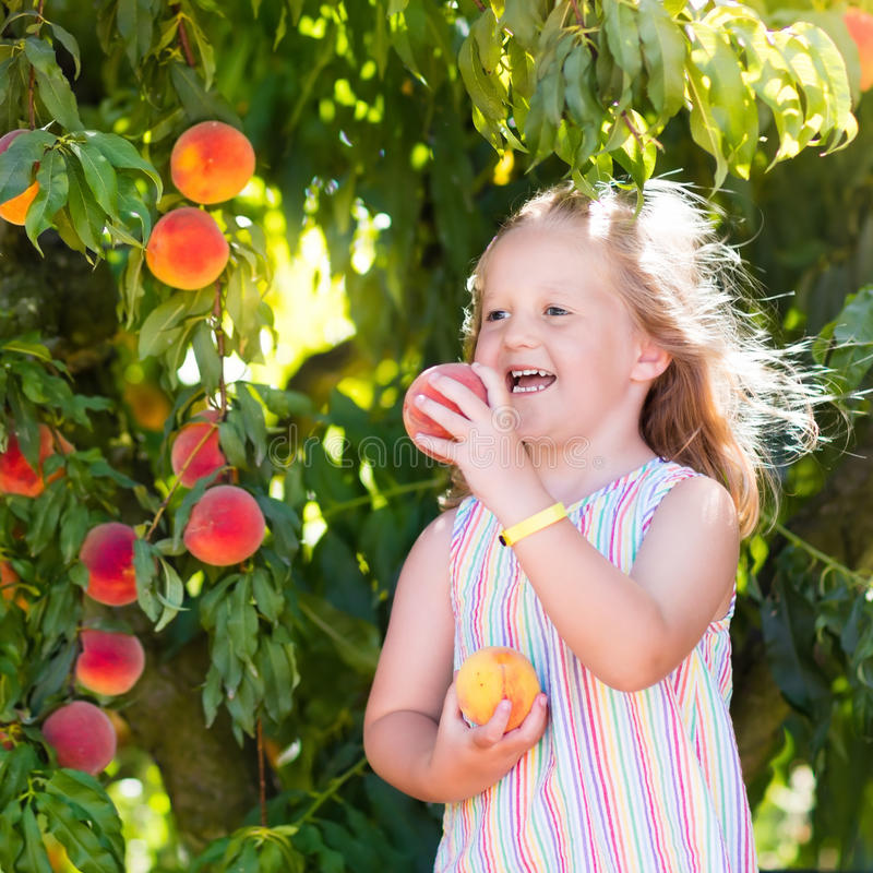 Child picking and eating peach from fruit tree stock image