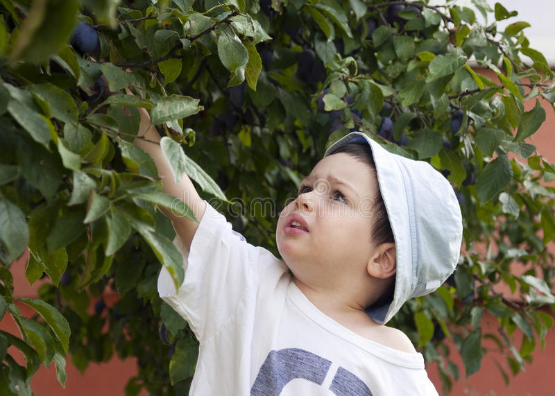 Download Child picking plum stock photo. Image of grabbing, country - 21003410
