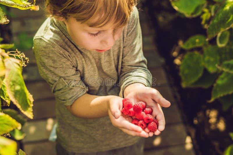 Child picking raspberry. Kids pick fresh fruit on organic raspberries farm. Children gardening and harvesting berry. Toddler kid stock photo