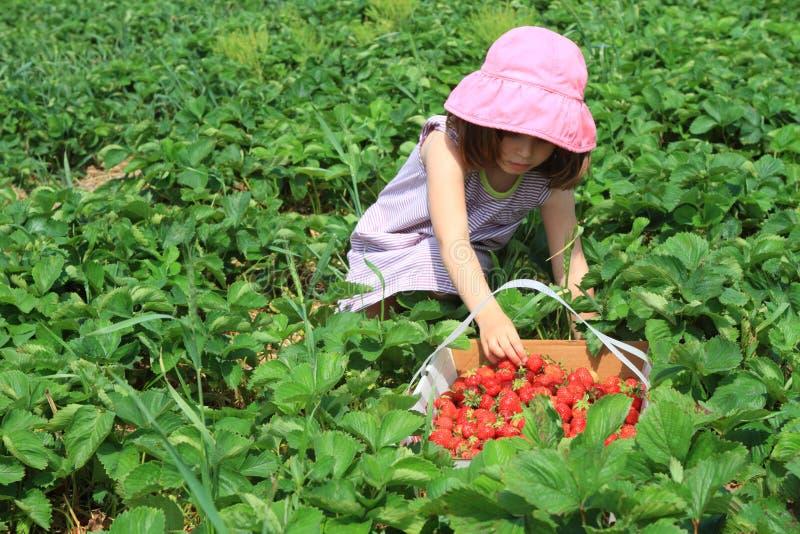 Child picking strawberries royalty free stock photo